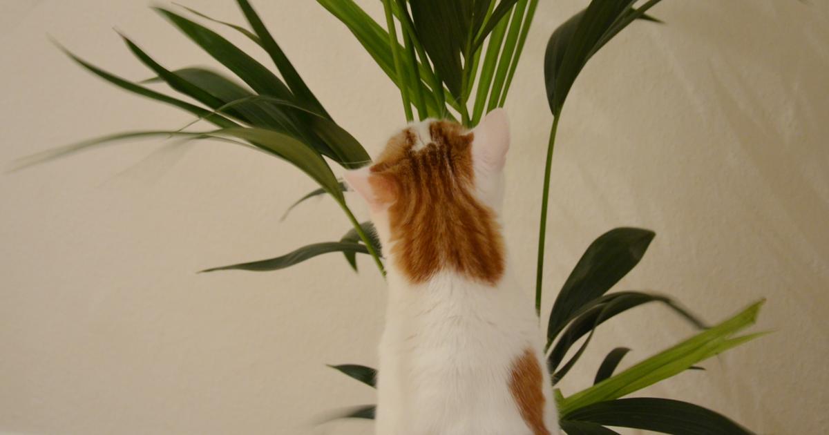 pflanzen f r katzen giftige pflanzen f r katzen welche pflanzen sind ungiftig f r katzen die. Black Bedroom Furniture Sets. Home Design Ideas