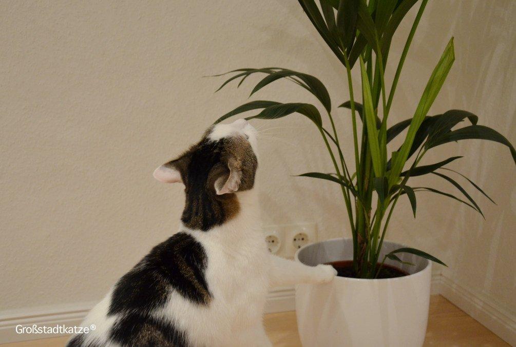 Pflanze-ungiftig-Katze-Kentiapalme-11