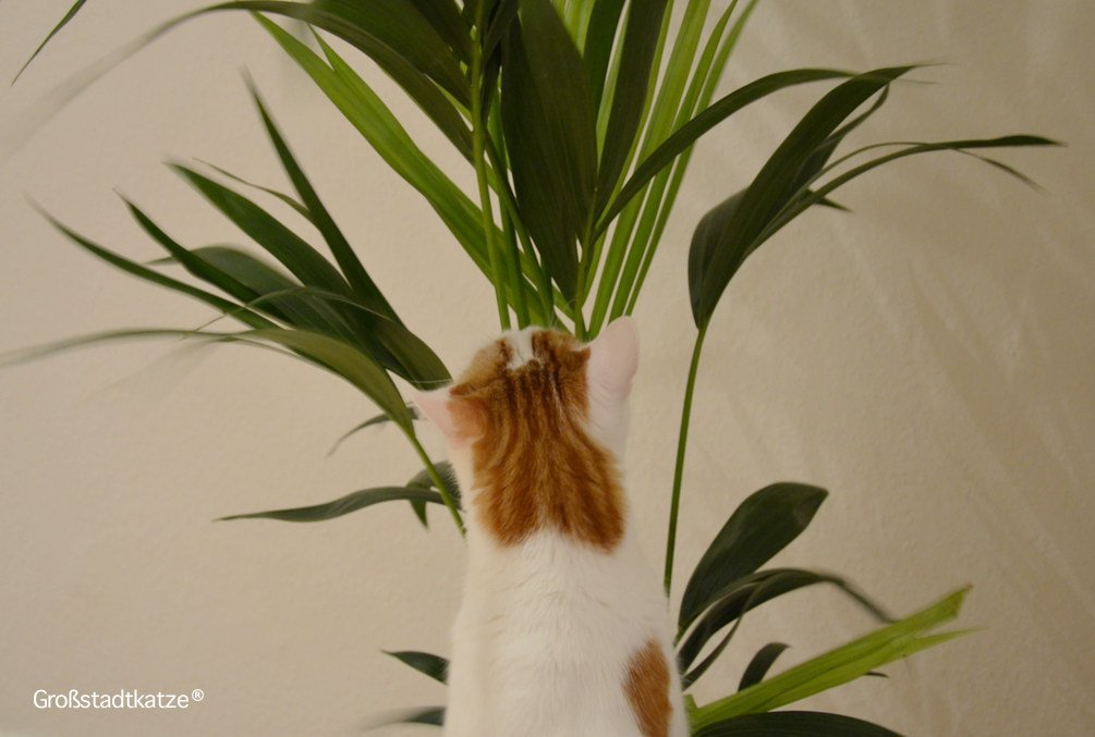 Pflanze-ungiftig-Katze-Kentiapalme-2