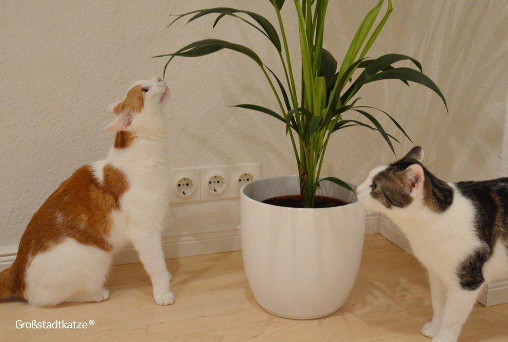 Pflanze-ungiftig-Katze-Kentiapalme-3