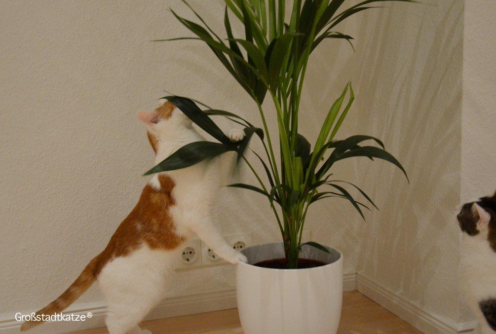 Pflanze-ungiftig-Katze-Kentiapalme-4