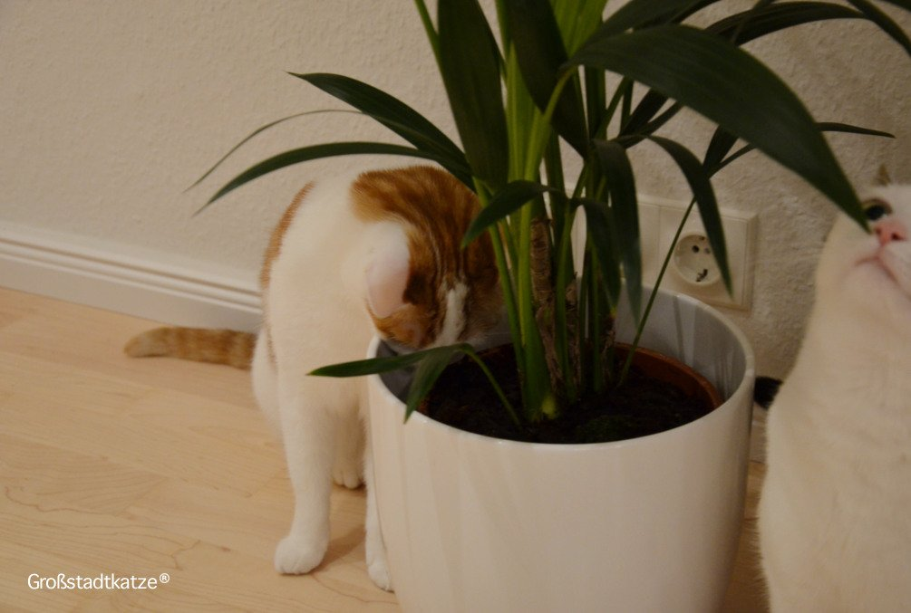 Pflanze-ungiftig-Katze-Kentiapalme-5