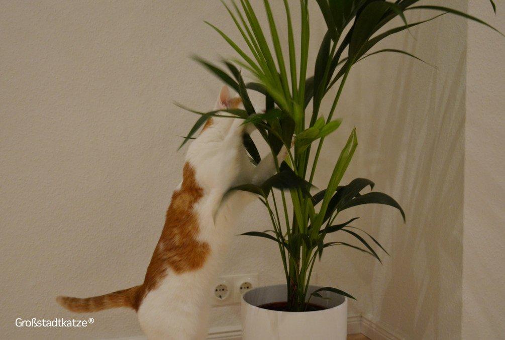 Pflanze-ungiftig-Katze-Kentiapalme-7