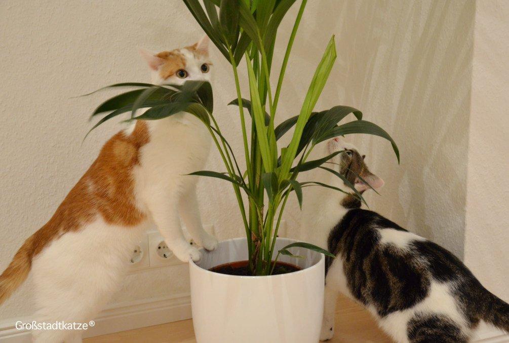 Pflanze-ungiftig-Katze-Kentiapalme-8
