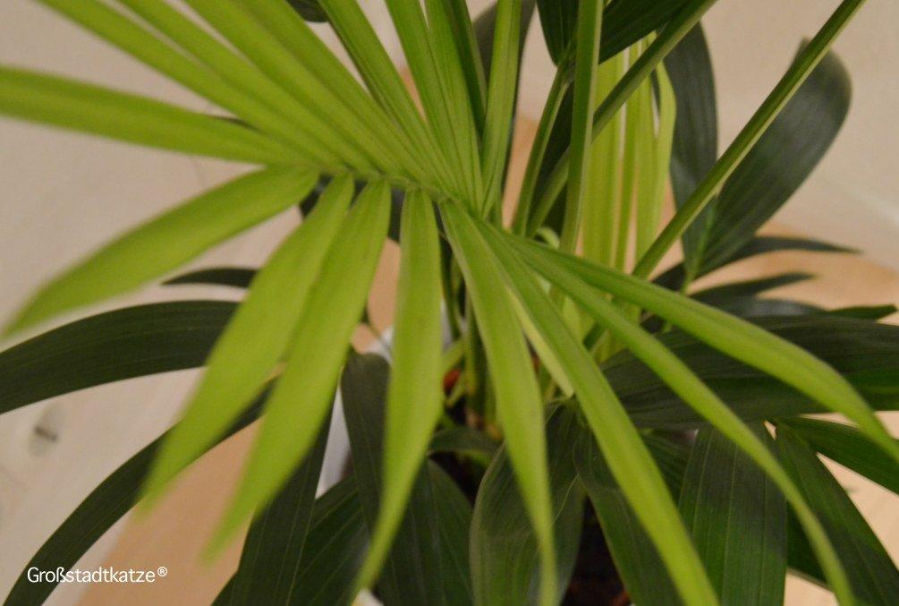 Pflanze-ungiftig-Katze-Kentiapalme-9
