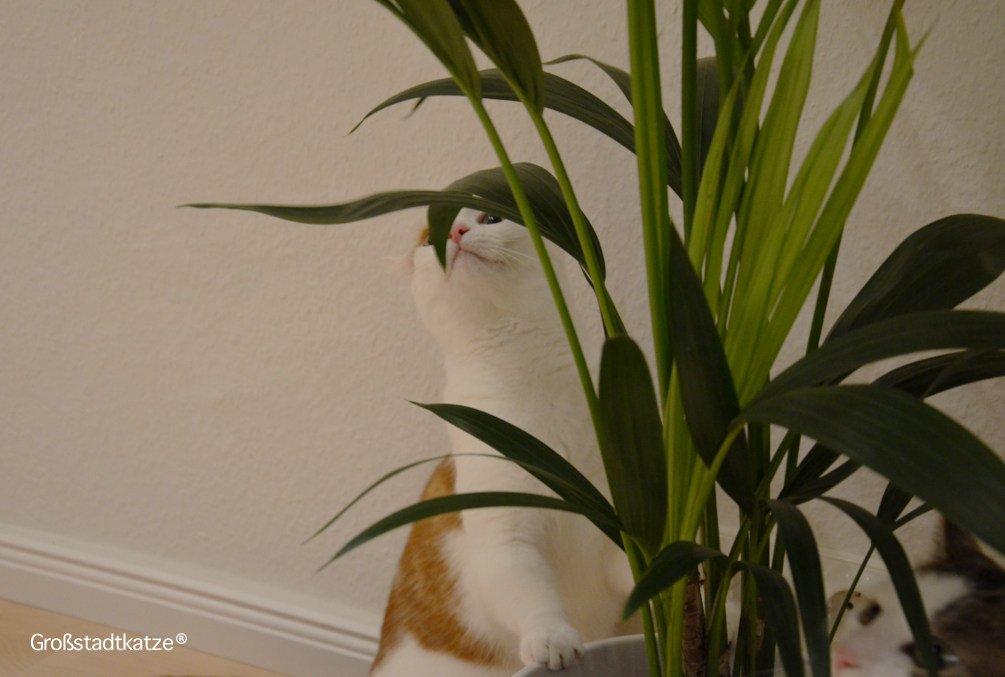 Pflanze-ungiftig-Katze-Kentiapalme